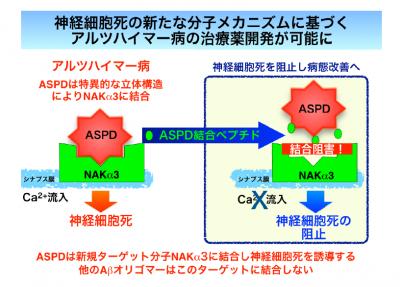 アルツハイマー病治療の新薬開発に期待。アミロスフェロイド(ASPD)が原因か